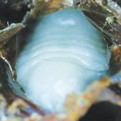 Figure 20: A very early stage AFB infected prepupa slumped on the lower cell wall