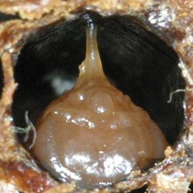 Figure 23: Infected pupa with tongue stretched across the cell