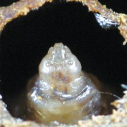 Figure 44: A sacbrood infected larva with a raised head