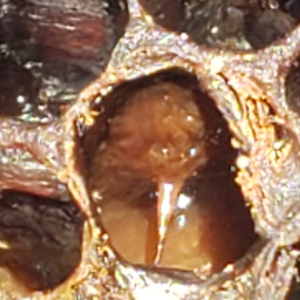 AFB infected larvae at pupal stage - Bob Russell